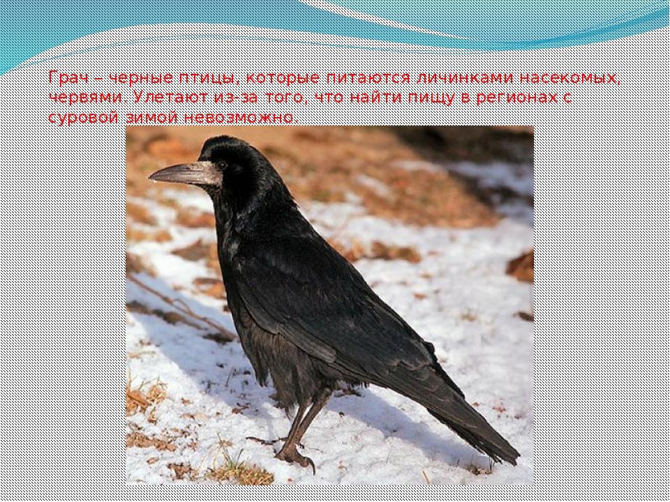 Грач – черные птицы, которые питаются личинками насекомых, червями. Улетают и...