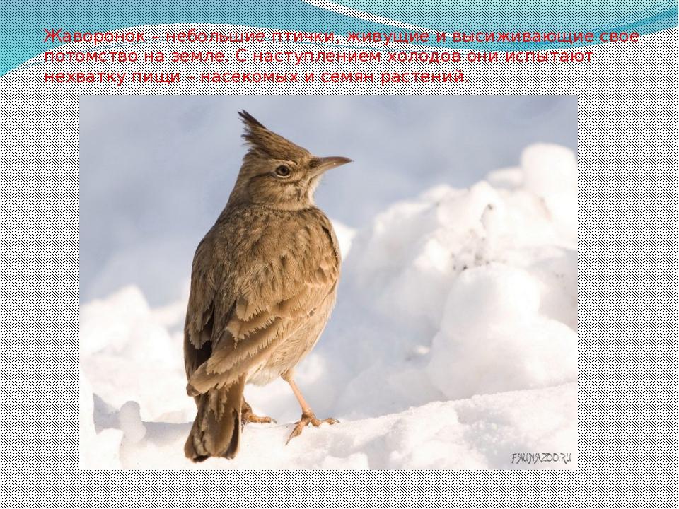 Жаворонок – небольшие птички, живущие и высиживающие свое потомство на земле....