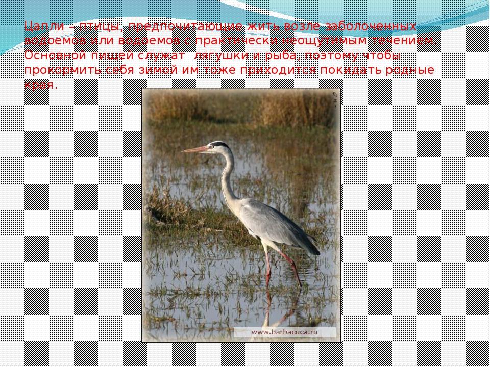 Цапли – птицы, предпочитающие жить возле заболоченных водоемов или водоемов с...
