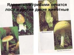 Ядовитыми грибами лечатся лоси и другие дикие животные