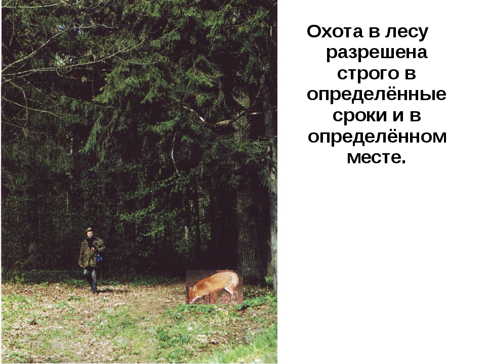 Охота в лесу разрешена строго в определённые сроки и в определённом месте.