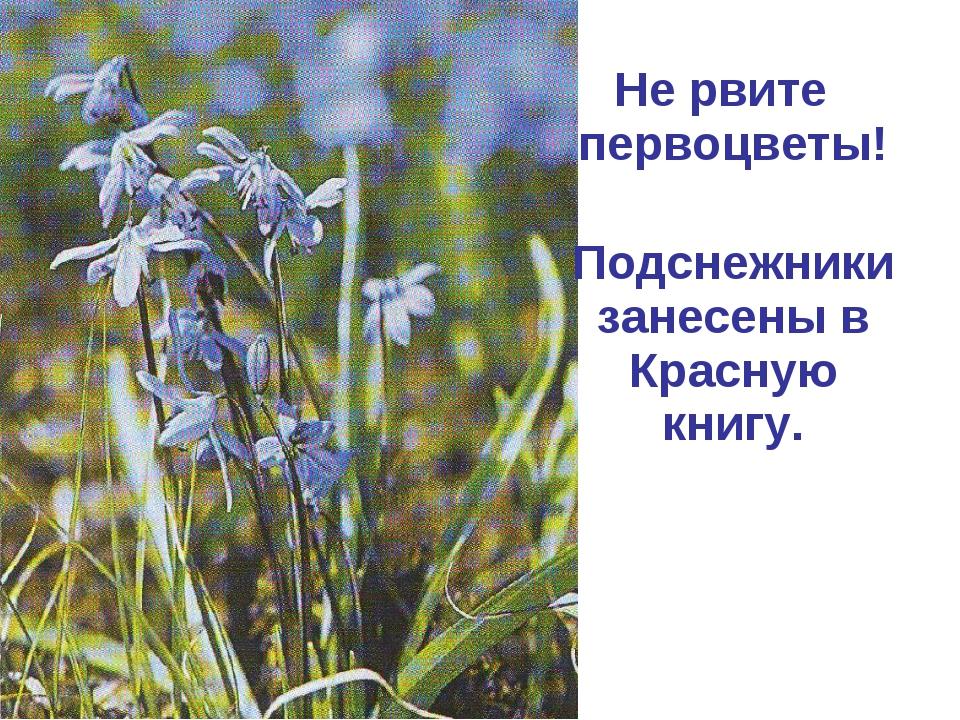 Не рвите первоцветы! Подснежники занесены в Красную книгу.