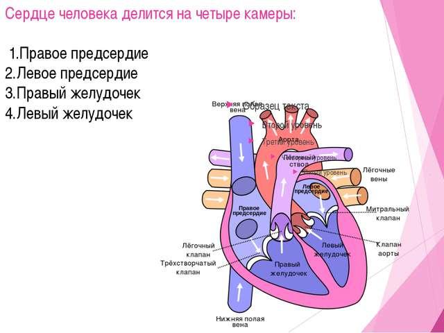 Сердце человека делится на четыре камеры: 1.Правое предсердие 2.Левое предсер...