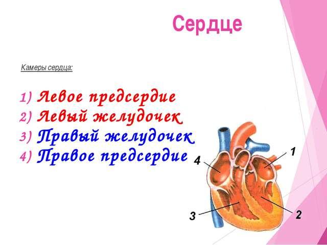 Камеры сердца: Левое предсердие Левый желудочек Правый желудочек Правое пред...