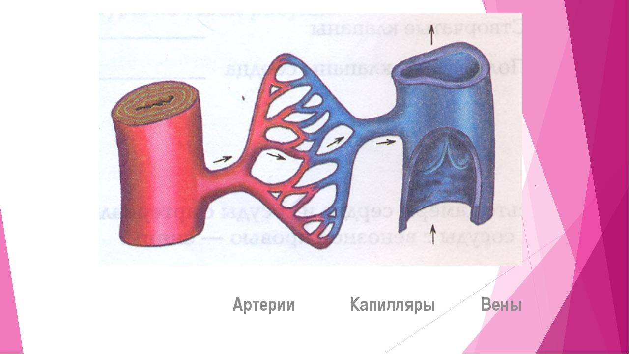Артерии Капилляры Вены s