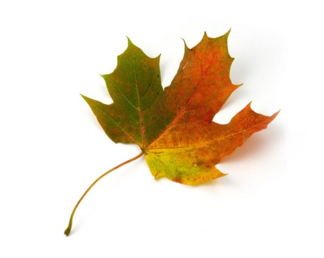 Кленовые листья осень-Осень-Бесплатные фотографии Скачать бесплатно