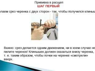 Прививка в расщеп ШАГ ПЕРВЫЙ Делаем срез черенка с двух сторон - так, чтобы п
