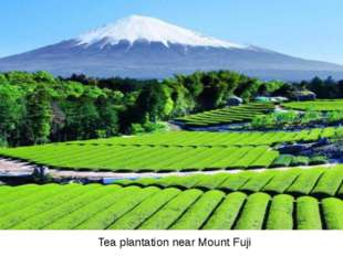 Tea plantation near Mount Fuji