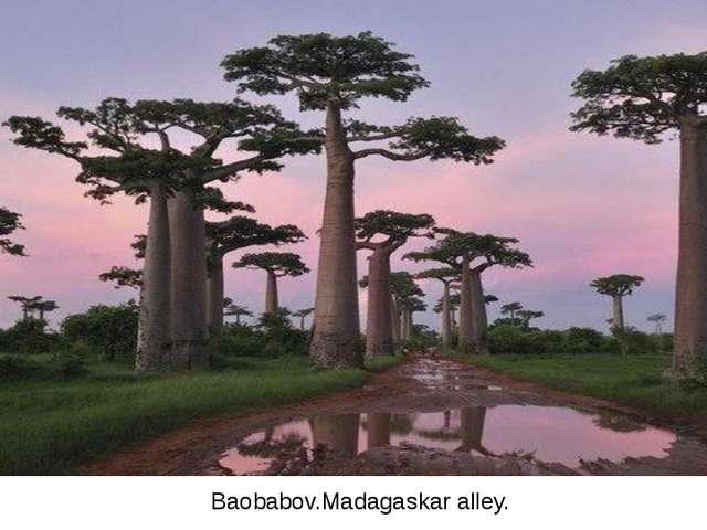 Baobabov.Madagaskar alley.