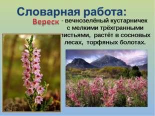 - вечнозелёный кустарничек с мелкими трёхгранными листьями, растёт в сосновых