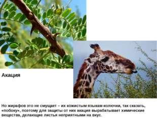 Акация Но жирафов это не смущает – их кожистым языкам колючки, так сказать, «