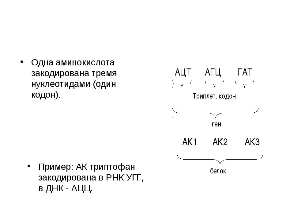Одна аминокислота закодирована тремя нуклеотидами (один кодон). Пример: АК тр...