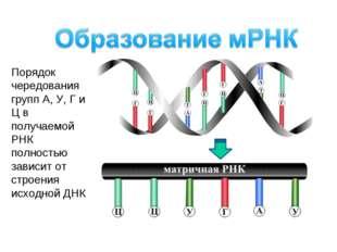 Порядок чередования групп А, У, Г и Ц в получаемой РНК полностью зависит от с