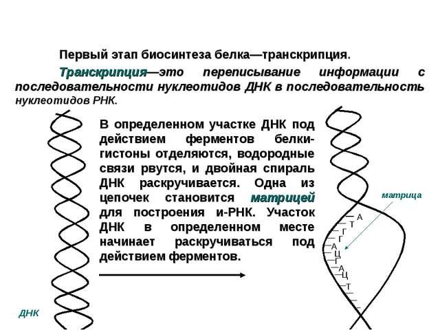 Первый этап биосинтеза белка—транскрипция. Транскрипция—это переписывани...