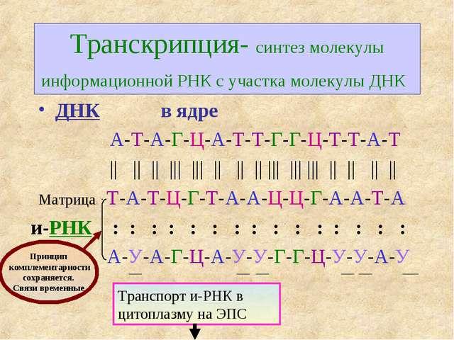 Транскрипция- синтез молекулы информационной РНК с участка молекулы ДНК и-РНК...