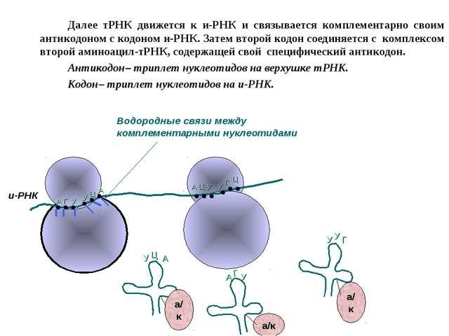 Далее тРНК движется к и-РНК и связывается комплементарно своим антикодоном...