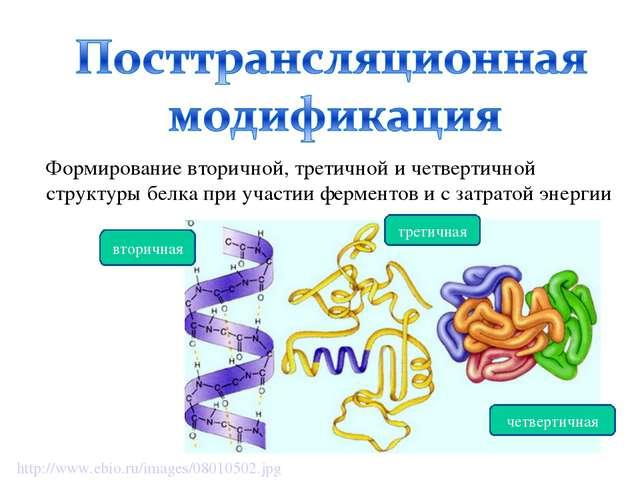 Формирование вторичной, третичной и четвертичной структуры белка при участии...