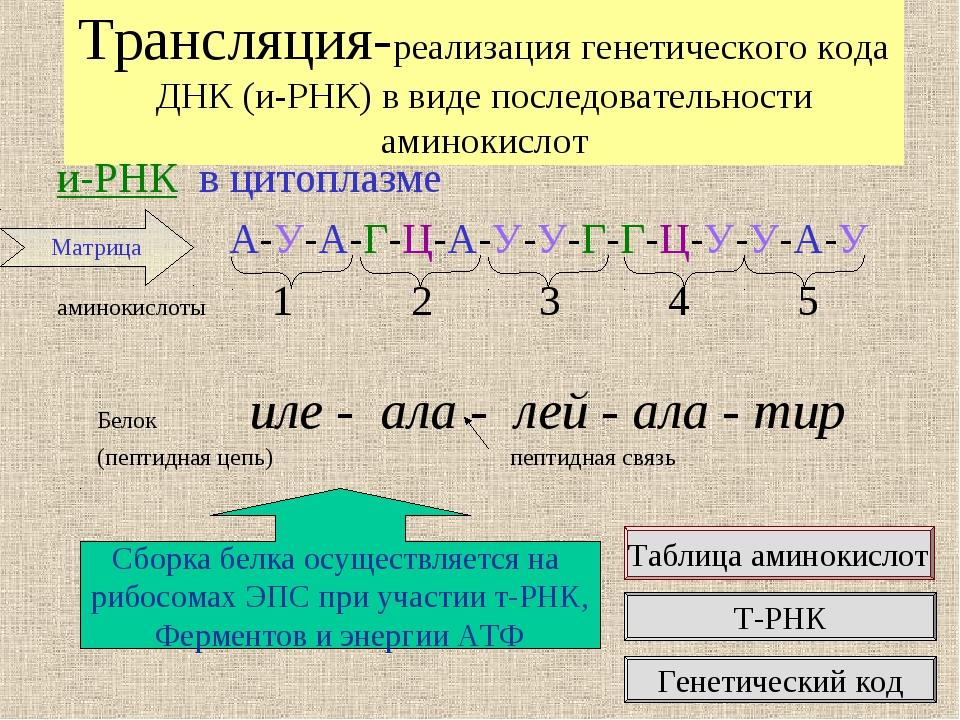 Трансляция-реализация генетического кода ДНК (и-РНК) в виде последовательност...