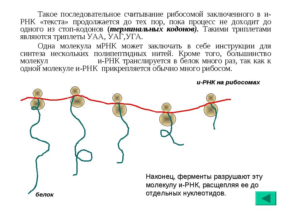 Такое последовательное считывание рибосомой заключенного в и-РНК «текста» п...