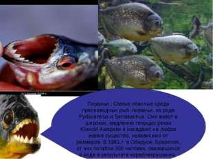 Пираньи ; Самые опасные среди пресноводных рыб -пираньи, из рода Pydocentrus
