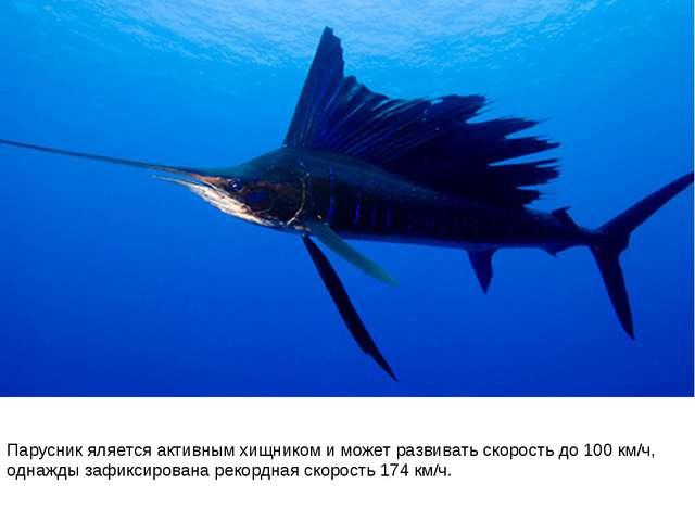 Парусник яляется активным хищником и может развивать скорость до 100 км/ч, од...
