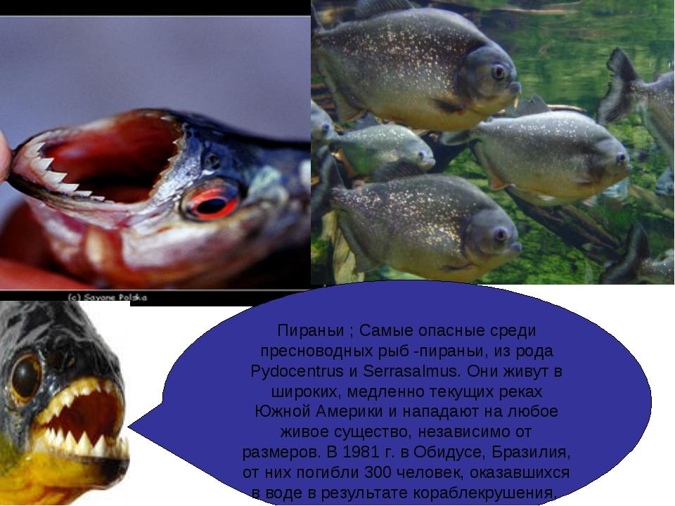 Пираньи ; Самые опасные среди пресноводных рыб -пираньи, из рода Pydocentrus...