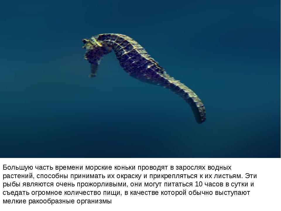 Большую часть времени морские коньки проводят в зарослях водных растений, спо...
