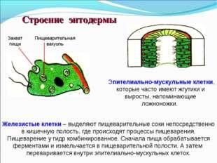 Эпителиально-мускульные клетки, которые часто имеют жгутики и выросты, напом