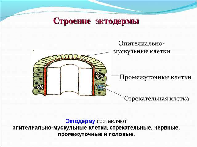 Строение эктодермы Эктодерму составляют эпителиально-мускульные клетки, стрек...