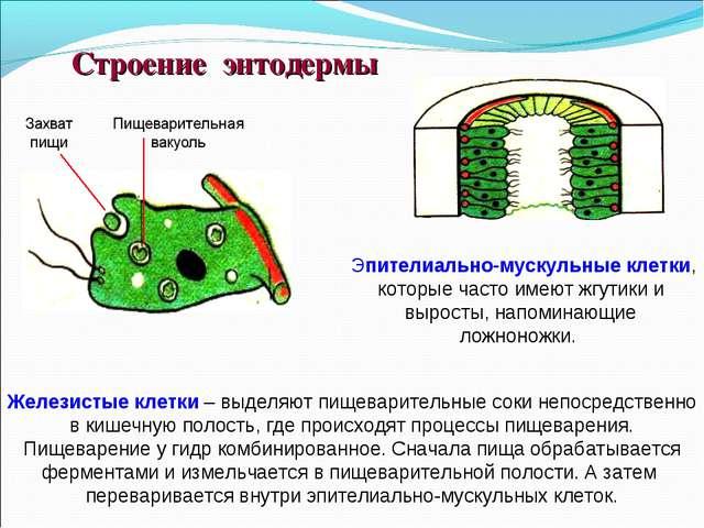 Эпителиально-мускульные клетки, которые часто имеют жгутики и выросты, напом...