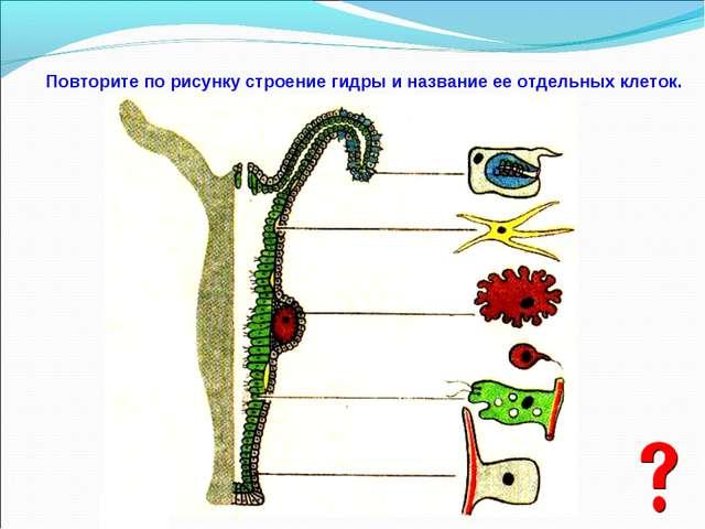 Повторите по рисунку строение гидры и название ее отдельных клеток.