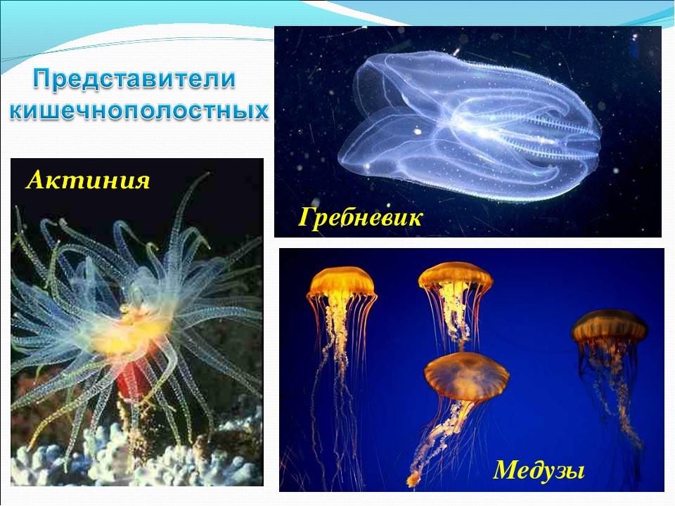 Гребневик Медузы