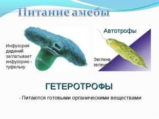 ГЕТЕРОТРОФЫ - Питаются готовыми органическими веществами Инфузория дидиний за