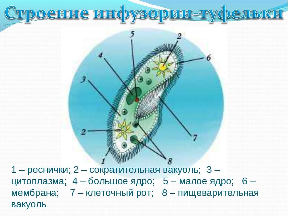 1 – реснички; 2 – сократительная вакуоль; 3 – цитоплазма; 4 – большое ядро; 5...