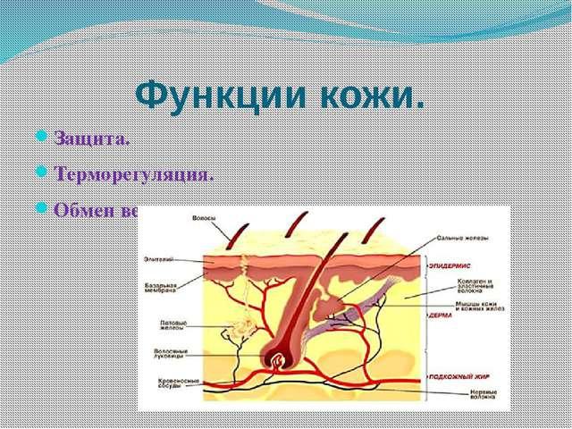 Функции кожи. Защита. Терморегуляция. Обмен веществ.