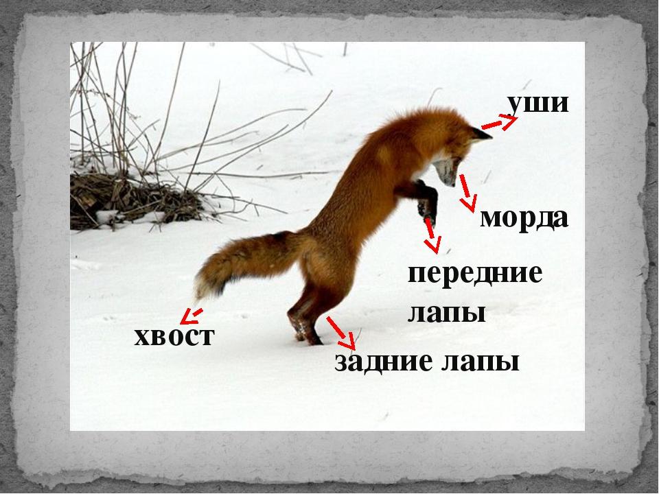 хвост морда уши задние лапы передние лапы