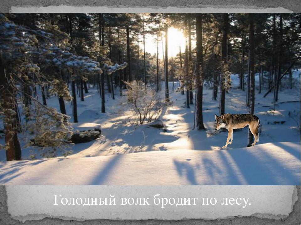 Голодный волк бродит по лесу.