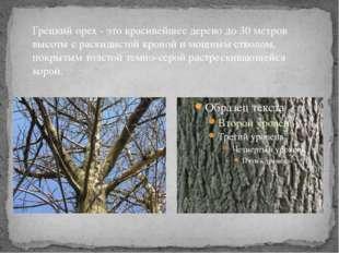 Грецкий орех - это красивейшее дерево до 30 метров высоты с раскидистой крон