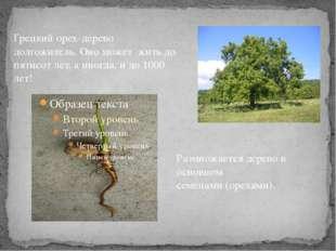 Размножается дерево в основном семенами (орехами). Грецкий орех-дерево долгож