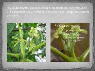 Женские цветки располагаются одиночно или группами по 2-4 в верхней части по