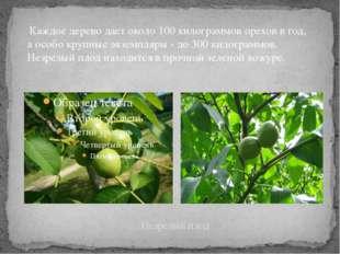 Незрелый плод Каждое дерево дает около 100 килограммов орехов в год, а особо