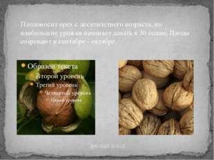Зрелый плод Плодоносит орех с десятилетнего возраста, но наибольшие урожаи на