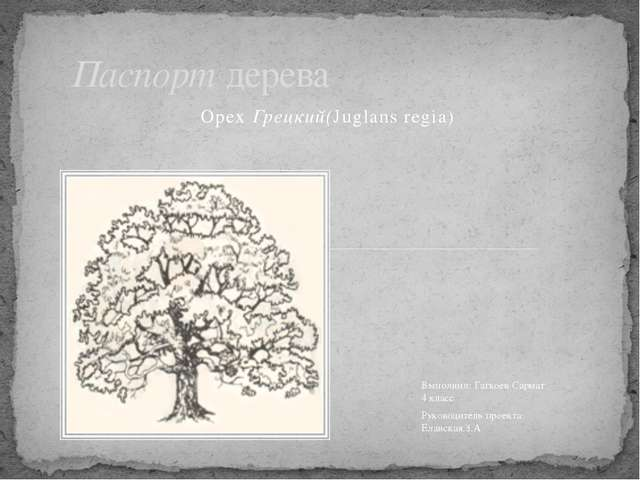Орех Грецкий(Juglans regia) Паспорт дерева Выполнил: Гагкоев Сармат 4 класс Р...