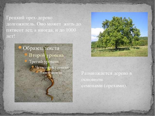 Размножается дерево в основном семенами (орехами). Грецкий орех-дерево долгож...