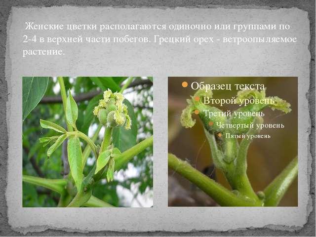 Женские цветки располагаются одиночно или группами по 2-4 в верхней части по...