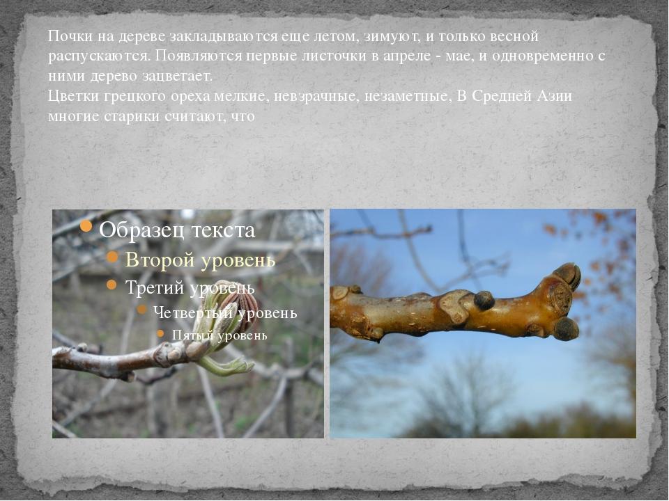 Почки на дереве закладываются еще летом, зимуют, и только весной распускаются...