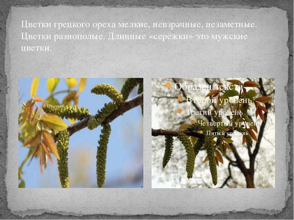 Цветки грецкого ореха мелкие, невзрачные, незаметные. Цветки разнополые. Длин...