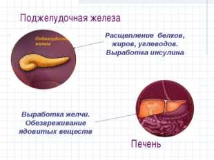 Поджелудочная железа Расщепление белков, жиров, углеводов. Выработка инсулина