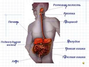 Ротовая полость Глотка Пищевод Желудок Тонкая кишка Толстая кишка Анус Печень
