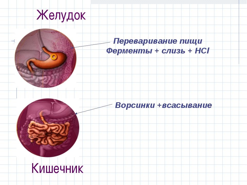 Желудок Переваривание пищи Ферменты + слизь + HCl Ворсинки +всасывание Кишечник
